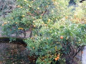 Citrus fruit at Nogi's shrine